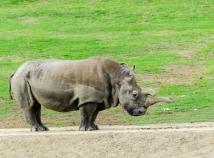 Northern white rhino, almost extinct