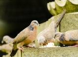 Pigeons gorging on rice