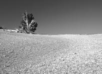 Solitary Bristlecone