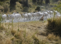 Sheep on Greenstone Station Road