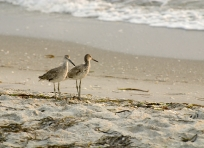 Sandpipers on Captiva Beach
