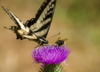 Butterfly and Bee on Thistle