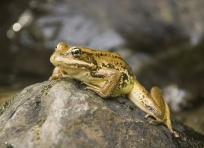 Frog at Mystic Camp