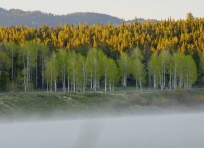 Aspens at Dawn