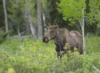Lone Moose