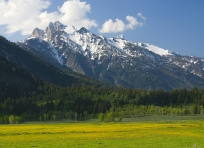 Dandelion Field and South Tetons