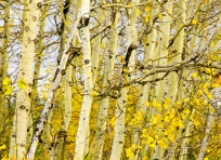 Aspens turned golden yellow