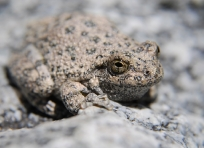 Frog in Rogers Canyon