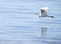 Egret at Salton Sea